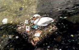 Thiên nga đẻ trứng trong ổ bằng rác tại Copenhagen, Đan Mạch