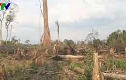 Báo động tình trạng phá rừng nguyên sinh làm nương rẫy ở Kon Tum