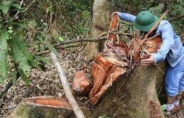 """Sau pơ mu, rừng lim lại bị xẻ thịt ở Quảng Nam: Vì sao """"máu"""" rừng vẫn chảy?"""