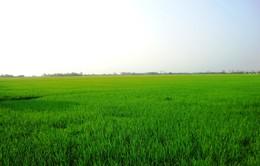 Hơn 60.000 ha lúa an toàn trước hạn mặn