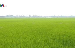 Hà Nội tập trung phòng dịch đạo ôn trên lúa