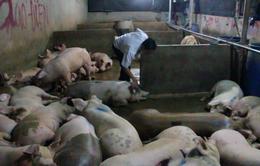 Tái diễn tình trạng bơm nước vào lợn ở Bạc Liêu