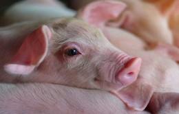 Hàn Quốc phát hiện một trang trại lợn xuất hiện bệnh lở mồm long móng