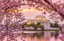 Mùa hoa anh đào nở rộ ở Washington, Mỹ