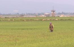 Quảng Bình: Hơn 800 ha lúa nhiễm bệnh đạo ôn