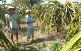 Bình Thuận: Hơn 1.100ha thanh long bị thiếu nước tưới trầm trọng