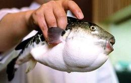 """""""Điếc không sợ súng"""" khi cá nóc độc trở thành… món ăn khoái khẩu"""