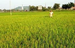 Bình Định: Rầy nâu hại lúa bùng phát, nông dân tập trung phun thuốc tiêu diệt