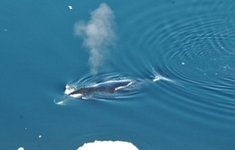 Cá voi thực sự có thể hát?