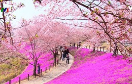 Hoa anh đào Nhật Bản nở rộ đón Xuân