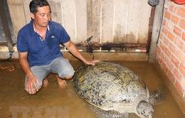 Bến Tre: Bắt được rùa biển khoảng 200kg ở cửa sông Hàm Luông