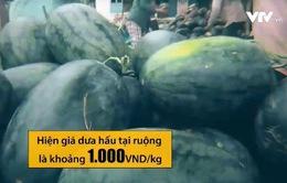 Dưa hấu 1.000 đồng/kg vẫn không có thương lái thu mua