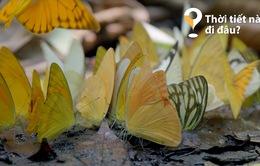 Thời tiết này đi đâu?: Vườn quốc gia Cúc Phương rợp trời bướm trắng tháng 5