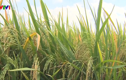 Nông dân ĐBSCL trúng mùa, được giá lúa