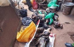 Lâm Đồng xử phạt hành vi tàng trữ 8 cá thể Voọc chà vá chân đen cực kỳ quý hiếm