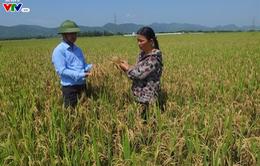 Hà Tĩnh: Vụ lúa Đông Xuân liên tiếp bị dịch bệnh đạo ôn trên diện rộng