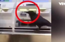 Nhật Bản: Một chú quạ trộm thẻ tín dụng mua vé xe lửa