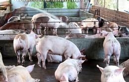 Tái đàn lợn ồ ạt sẽ dẫn đến mất cân đối cung cầu