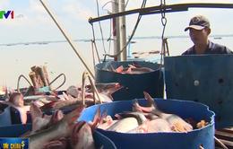 Giá cá tra tăng kỷ lục, lên mức 33.000 đồng/kg