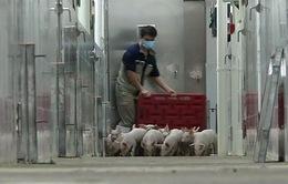 Cao ốc cho lợn - Xu hướng chăn nuôi mới ở Trung Quốc