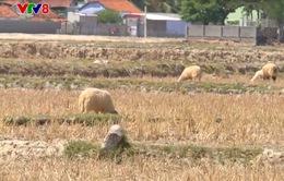 Ninh Thuận ngừng sản xuất trên 6.000 ha vì hạn hán