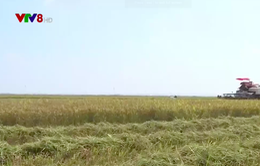 Quảng Trị được mùa lúa cao nhất từ trước đến nay