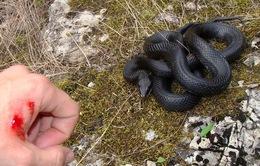 Báo động tình trạng rắn độc tấn công người tại ĐBSCL