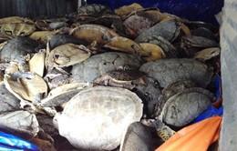 Mở lại phiên tòa xét xử vụ buôn bán hơn 10 tấn rùa biển tại Nha Trang, Khánh Hòa