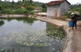 Kon Tum: Cá chết hàng loạt, người chăn nuôi gặp khó