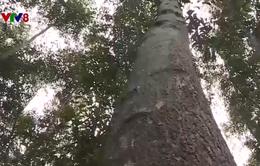 Trồng rừng theo chứng chỉ FSC