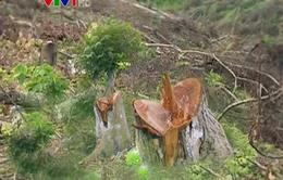 Bắc Kạn: Chính quyền xã tham gia phá rừng trái phép