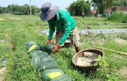 Quảng Nam: Dưa hấu được mùa được giá, người dân vẫn lo lắng