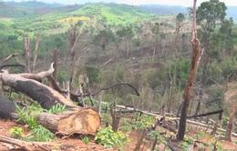 """Gần 30 ha rừng tự nhiên ở Đắk Nông bị phá """"trắng"""""""