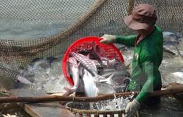 Giá cá tra tại ĐBSCL sụt giảm
