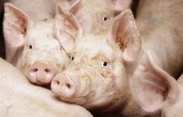 Khách sạn dành cho lợn tại Trung Quốc