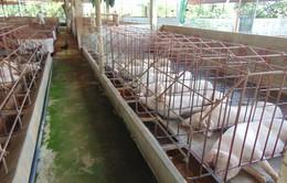 Không có chuyện lợn Trung Quốc nhập khẩu vào Việt Nam
