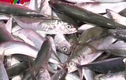 Ngư dân Quảng Ngãi nói không với đánh bắt trái pháp luật