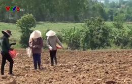 Rủi ro lớn khi nông dân phá mía trồng sắn ở Phú Yên