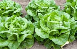 Vì sao rau xà lách thường là nguyên nhân dẫn đến dịch nhiễm khuẩn E.coli?