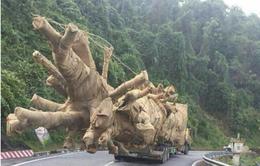 Phó Thủ tướng chỉ đạo xử lý nghiêm vụ vận chuyển cây to qua các tỉnh miền Trung