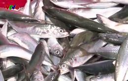 Quảng Ngãi: Kiểm soát nguồn gốc hải sản từ tàu