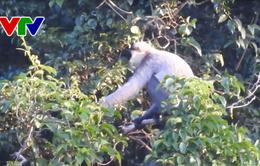 Quảng Nam lập kế hoạch bảo vệ đàn voọc chà vá chân xám