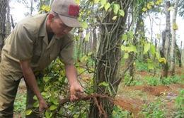 Đồng Nai cảnh báo người dân không chặt bỏ vườn tiêu bán rễ cho thương lái