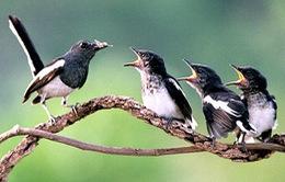Nghiên cứu tiếng chim hót của chim để chữa tật khi nói