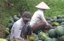 Hàng ngàn tấn dưa hấu ứ đọng ở Quảng Nam và Quảng Ngãi