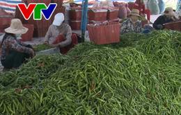 Quảng Nam: Ớt rớt giá, nông dân điêu đứng