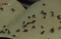 Đà Nẵng: Lại xuất hiện ruồi làm đảo lộn cuộc sống người dân