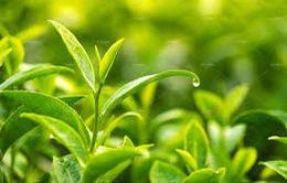 Hợp chất trà xanh có thể bảo vệ sức khỏe tim mạch