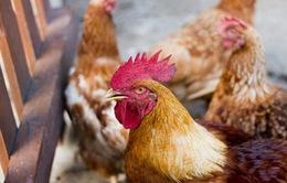 Mỹ tạo phôi thai lai nửa người nửa gà