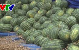 Doanh nghiệp hỗ trợ nông dân Phú Yên tiêu thụ dưa hấu